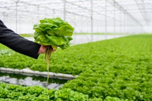 Albert Heijn verkoopt op water gekweekte sla
