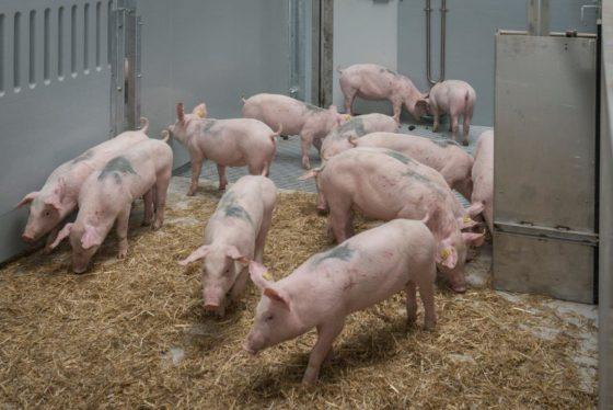 Colruyt lanceert Belgische biologische, duurzame varkensvleesketen