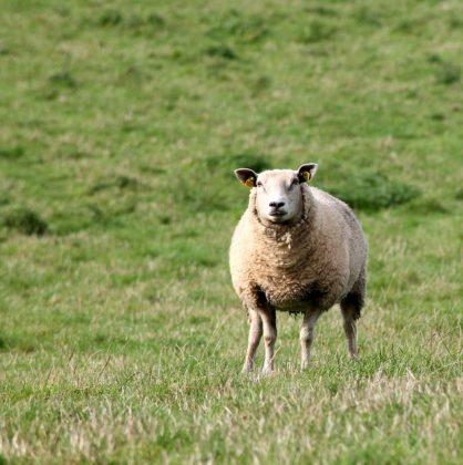Onverdoofd slachten van schapen wordt verboden in Vlaanderen