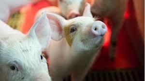 carrefour varkensvlees van weleer