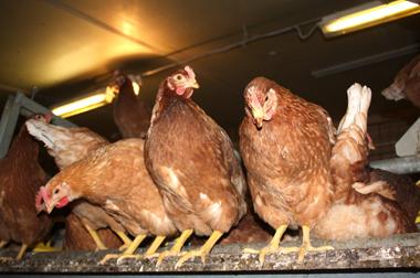 Dreiging vogelgriep komt dichterbij