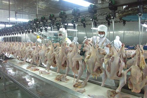 ILVO ontwikkelt kippenwelzijn evaluatieprotocol