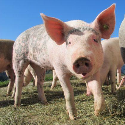 Specificatie ISO helpt voedingsindustrie met dierenwelzijn