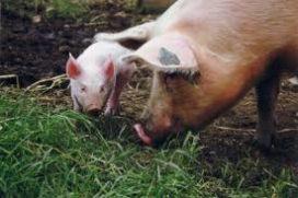 10% minder fosforuitscheiding mogelijk bij biologische varkens en leghennen