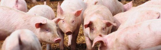 Harde Brexit zou catastrofe zijn voor Belgische vleessector