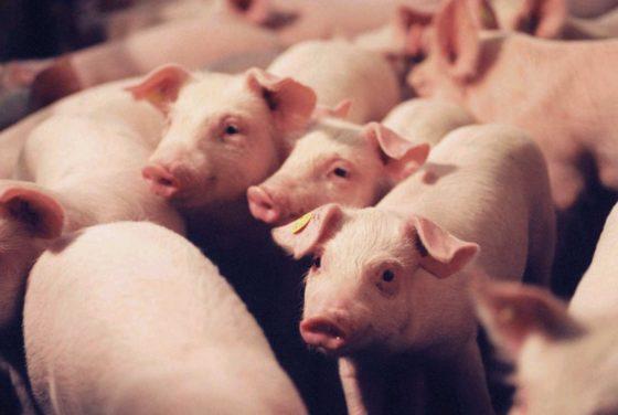 Sensoren waken over gezondheid vleesvarkens