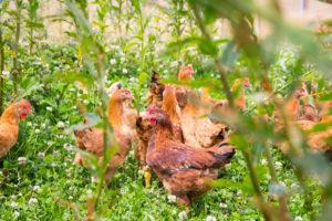 EU mikt op betere productiviteit én dierenwelzijn legkippen